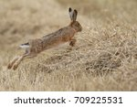 Stock photo lepus europaeus brown hare leaping in the wheat field 709225531