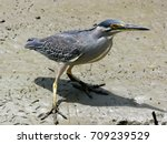 green backed heron  striated... | Shutterstock . vector #709239529