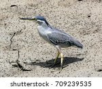 green backed heron  striated... | Shutterstock . vector #709239535