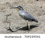 green backed heron  striated... | Shutterstock . vector #709239541