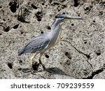green backed heron  striated... | Shutterstock . vector #709239559