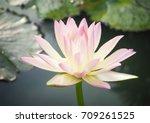 beautiful lotus flower | Shutterstock . vector #709261525