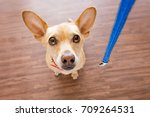 chihuahua dog waiting for owner ... | Shutterstock . vector #709264531
