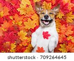 jack russell dog   lying on the ... | Shutterstock . vector #709264645