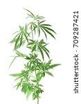 hemp plant on white background | Shutterstock . vector #709287421