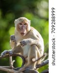 Small photo of Long-tailed macaque monkey cleaning mouth and teeth at Khao Nor Mountain, Nakhon Sawan, Thailand