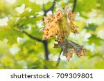 autumn yellow green leaves of a ... | Shutterstock . vector #709309801