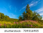 Small photo of A flower field against a beautiful green tree and a cloudless sky, copy space for text. Chamerion, Vyborgsky District, Russia.