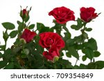 Stock photo red bush roses flowers in a pot home and street flower rose for home and garden gift for march 709354849