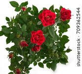 Red Bush Roses. Flowers In A...