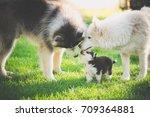Happy Family Of Siberian Husky...