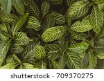 bush or leaves background  copy ... | Shutterstock . vector #709370275