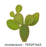 opuntia cactus isolated on... | Shutterstock . vector #709397665