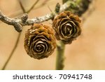 Larch cone - stock photo