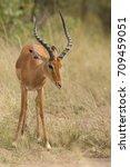 Small photo of Antelope (Aepyceros melampus)