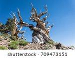 Ancient Bristlecone Pine Tree ...