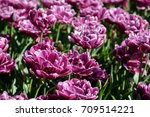 blooming double late tulips ... | Shutterstock . vector #709514221