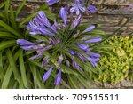 blue flower seen from the top | Shutterstock . vector #709515511