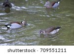 American Wood Duck And Ringed...