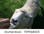 Small photo of Sheep need some more bread