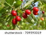 Cornus fruit .dogwood berries...