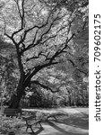 the old oak in alexandria park  ... | Shutterstock . vector #709602175