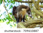 coati costa rica  | Shutterstock . vector #709610887