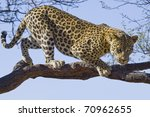 African Leopard On Tree