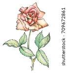 graphic  branch rose flower ... | Shutterstock . vector #709672861