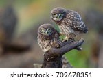 Two Young Little Owls  Athene...