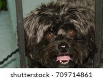 bichon yorkie dog | Shutterstock . vector #709714861