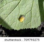 squash lady beetle larvae on... | Shutterstock . vector #709793275