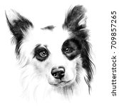 Border Collie. Pencil Drawing...
