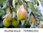 Ripe Organic Pears In The...