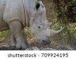 white rhino in the pilansberg ... | Shutterstock . vector #709924195
