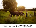 Boy Feeds Cows At Sunset  Tone...
