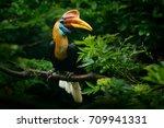 knobbed hornbill  rhyticeros... | Shutterstock . vector #709941331