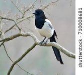 Beautiful Eurasian Magpie ...