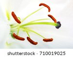 lily flower isolated on white.... | Shutterstock . vector #710019025
