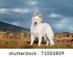 White Swiss Shepherd Stands...