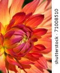 Colorful Dahlia Flower With...