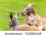 Small photo of A pair of Red kangaroos struggle to open their eyes as they soak up the warm sunshine during the summer of 2017.