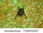 greater white lined bat costa... | Shutterstock . vector #710092057
