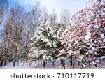 Small photo of A beautiful forest in winter season. Snow on pine tree and snow on bunches of rowan berries. Sorbus aucuparia is commonly known as rowan, mountain-ash, quickbeam, or rowan-berry. Finland. Europe.