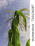 Small photo of Statuesque top of corn (maize) plant (trinomial name: Zea mays subsp. mays) with tassel behind green leaves against a partly cloudy sky, for agricultural and garden themes