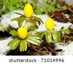 closeup of winter aconite group ... | Shutterstock . vector #71014996