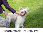 chinese crested dog at the... | Shutterstock . vector #710282191