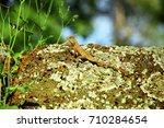 oriental garden lizard  eastern ... | Shutterstock . vector #710284654