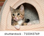 Stock photo portrait of one wide eyed brown black and white stripped tabby kitten peaking out of a kitty bed 710343769
