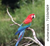 green winged macaw  ara...   Shutterstock . vector #710369809